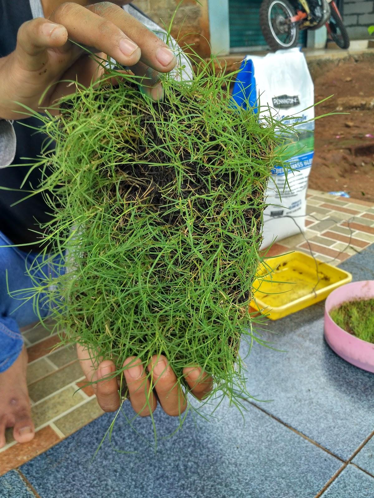 Benih Bibit Rumput Murah Supplier Biji 082210941701 Jual Scotts Bermuda