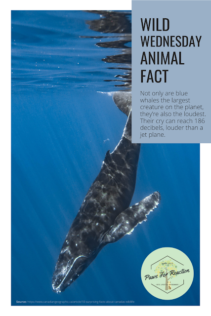 Wild Wednesday: Animal Fact Blue Whale