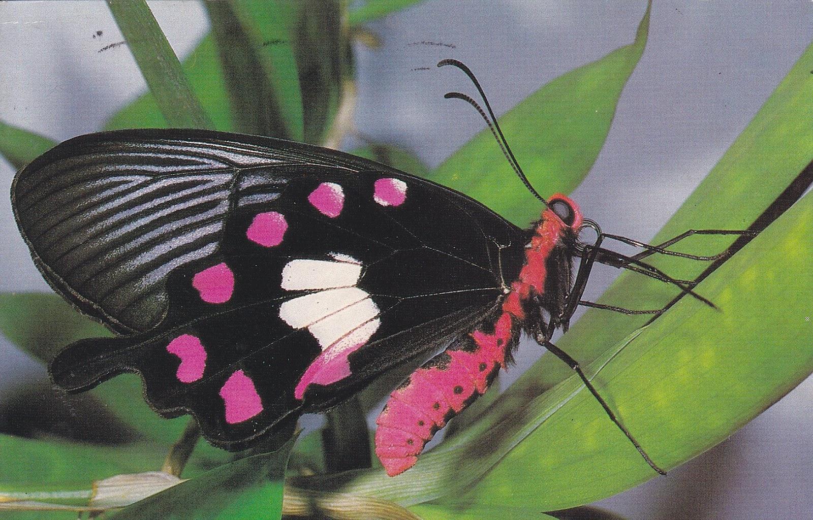 Indian Flag Butterflies: My World-wide Postcard: Another Malaysian Butterflies Postcard