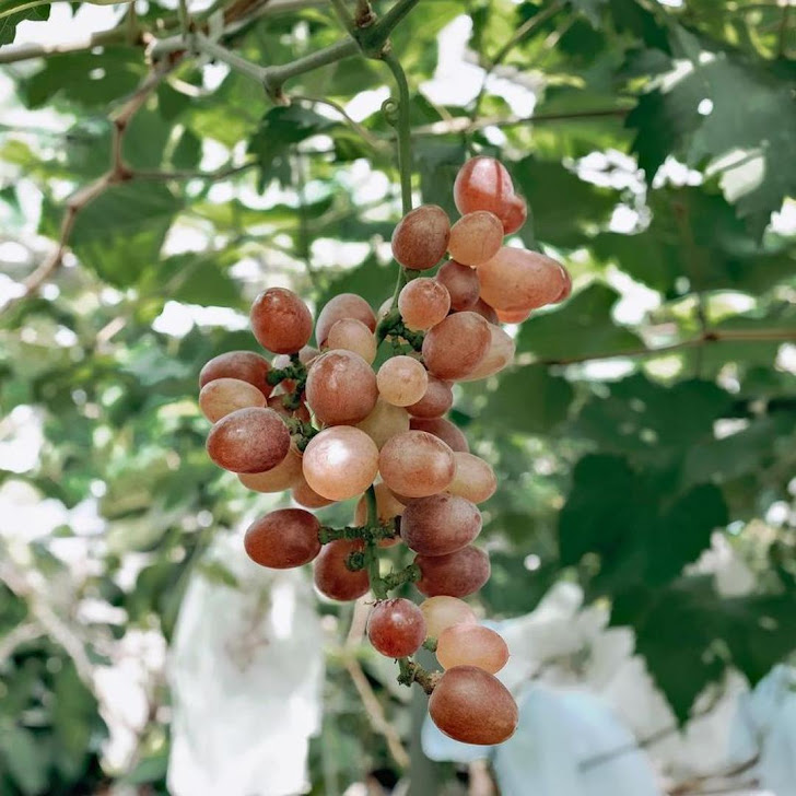 Bibit tanaman anggur baikonur VALID Manado
