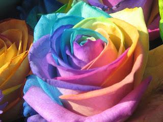 زهرة قوس قزح أزهار و ورود عطرية rainbow  rose aromatic flowers