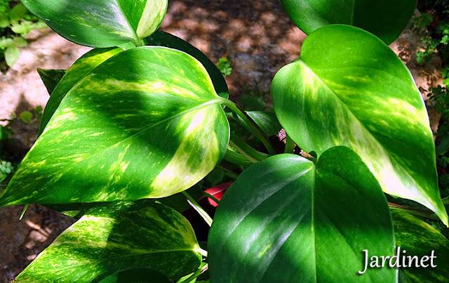 Jiboia, planta tóxica