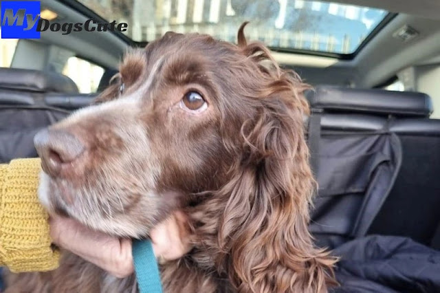Bruno the dog found in Leeds hundreds of miles from home after being stolen TWICE in a week