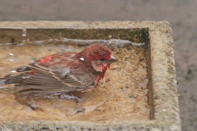 """This image features a male House finch in a cement bird bath that is on my garden floor. He is sitting in the water with his legs tucked under his body. Most of his body is visible and not immersed in water. The right side of his face, beak and one of his eyes can be seen. The expression on his face is intense. His wings are pressed against either side of his body. House finches are featured in volume one of my book series, """"Words In Our Beak.""""  Info re these books is in another post on my blog @ https://www.thelastleafgardener.com/2018/10/one-sheet-book-series-info.html"""