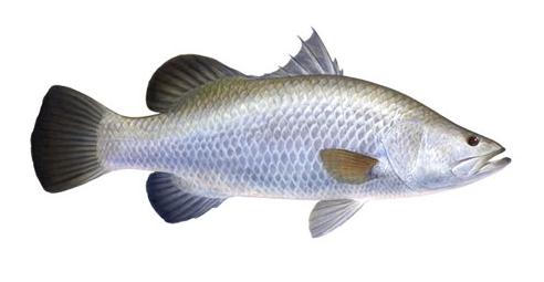 kali ini admin ingin menginformasikan wacana Bedanya Ikan Kakap Putih Dengan Ikan Mata Kucing