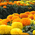 Marigold May Help Treat Skin Wounds, Burns And Rashes