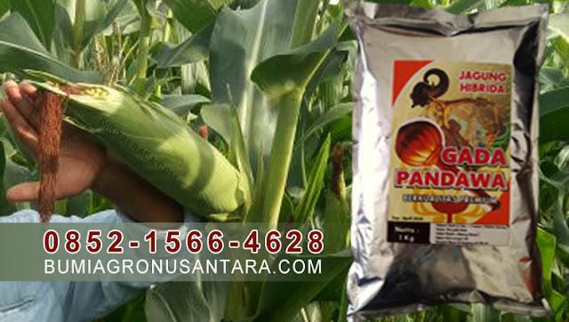benih jagung gada pandawa, benih jagung premium, jagung hibrida bisi 18, jenis jagung hibrida, budidaya jagung hibrida pdf, keunggulan jagung hibrida, umur panen jagung hibrida, manfaat jagung hibrida, teks prosedur cara menanam jagung hibrida, gambar jagung hibrida, jagung gada pandawa,