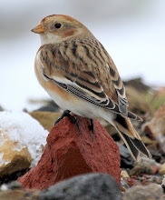Soil Hill Snow Bunting