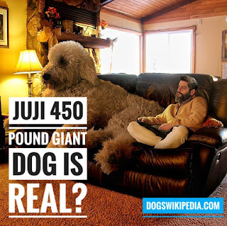 juji the dog, juji giant dog, giant dog juji, juji the giant dog, giant dog, juji the giant dog is real, juji 450 pound dog, juji huge dog, is juji the dog real,