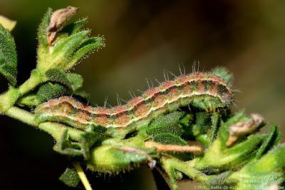 Heliothis Peltigera (larva) (fotografia-de-naturaleza.blogspot.com)