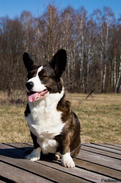 Yuma, pies, las, Kampinos, Puszcza, Kampinoski Park Krajobrazowy, podróże z psem, Warszawa, corgi, welsh corgi, cardigan