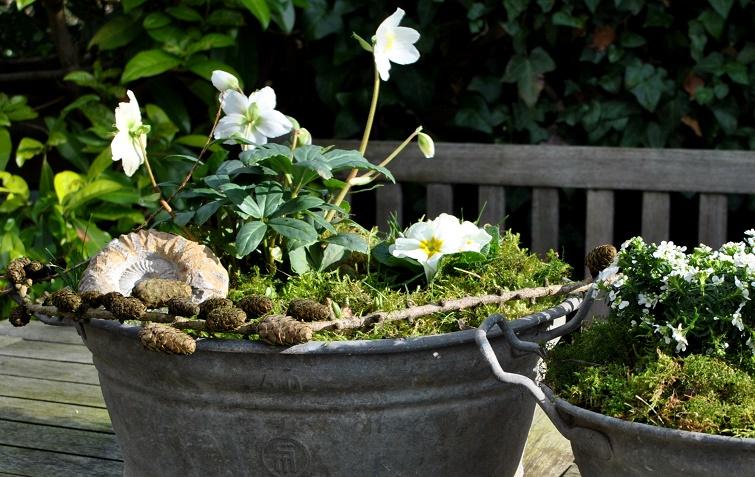 Helleborus Blüten im Winter und Vorfrühling