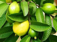 अमरूद से ज्यादा फायदेमंद होते हैं उसके पत्ते  Guava leaves help to overcome health problems