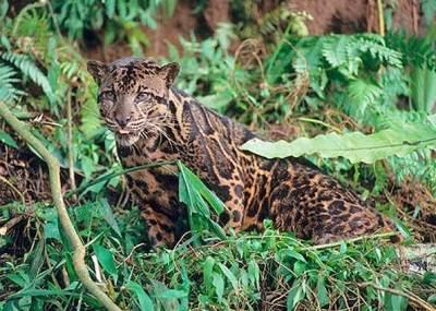 kucing macan dahan asli indonesia