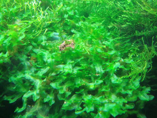 rêu Pelia rất dễ trồng trong bể thủy sinh