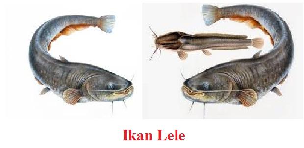 Mengenal Ikan Lele dan Penjelasannya