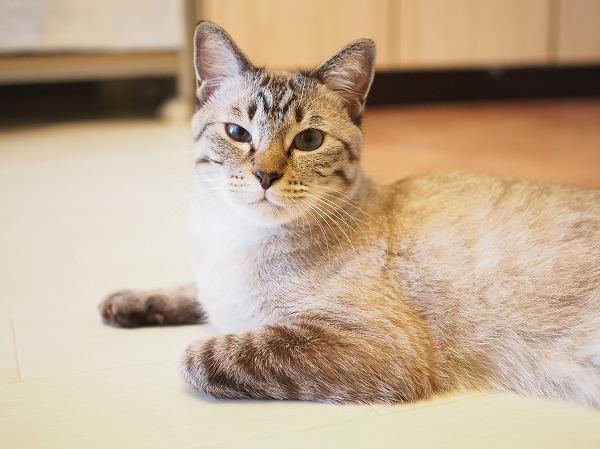 台所の床に寝そべってるシャムトラ猫