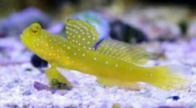 Ikan hias Watchman Gobies