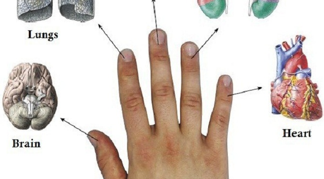 Each Finger Is Linked To 2 Organs