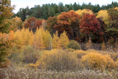 tamaracks turned golden