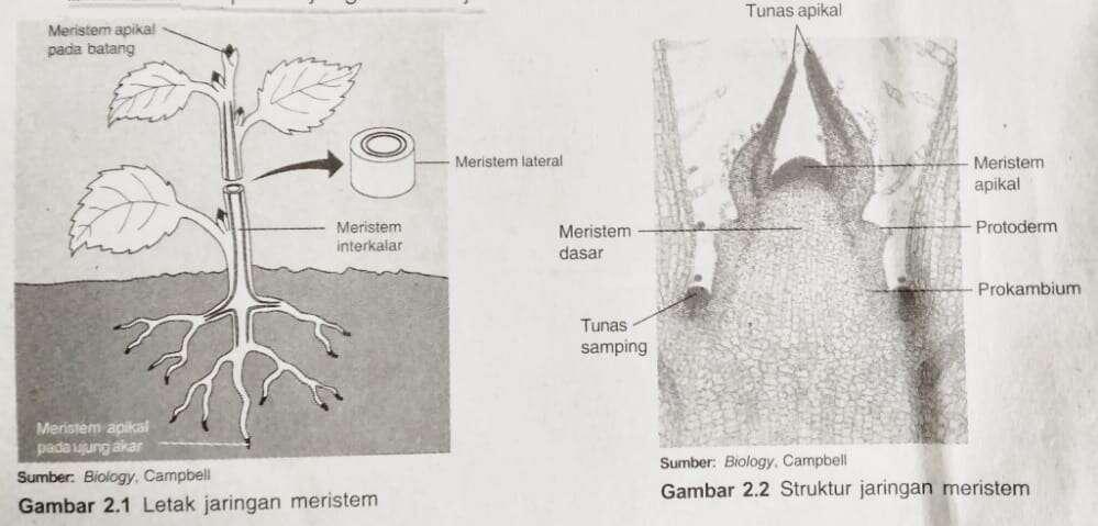 struktur meristem dalam jaringan pada tumbuhan