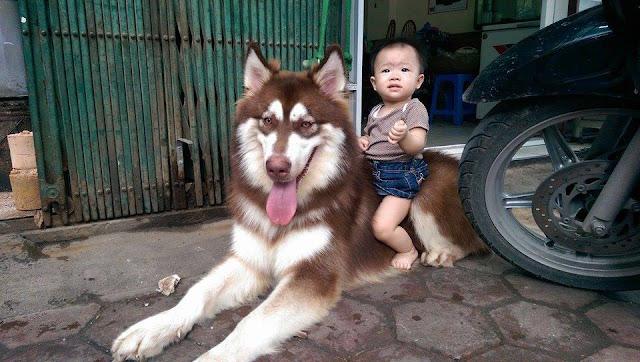 Đực phối giống chó alaska Phi Tôm