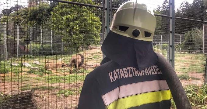 Tűzoltók felügyelték a debreceni oroszlánok első randevúját
