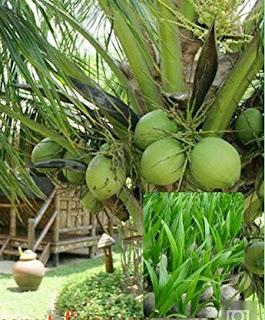 Tanaman kelapa yang tersebar di Indonesia, memuat beberapa jenis varietas. Varietas kelapa tersebut adalah, Kelapa Dalam (tall), Kelapa Genjah (dwarf) dan Kelapa Hibrida (hybrid). Kelapa wulung genjah adalah tanaman buah kelapa yang jenisnya pendek dan cepat berbuah, tetapi ukuran buah sedang tidak terlalau besar, bahkan cenderung agak lebih kecil