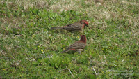 House finches foraging on grass, Diamond Head, Oahu - © Denise Motard