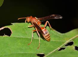 caracteristica hormiga cortadora de hojas