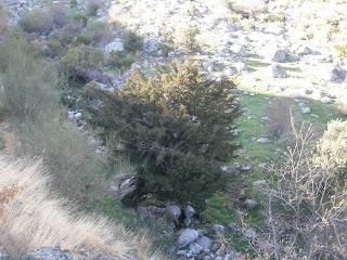 taxus baccata en el Valle del Jerte