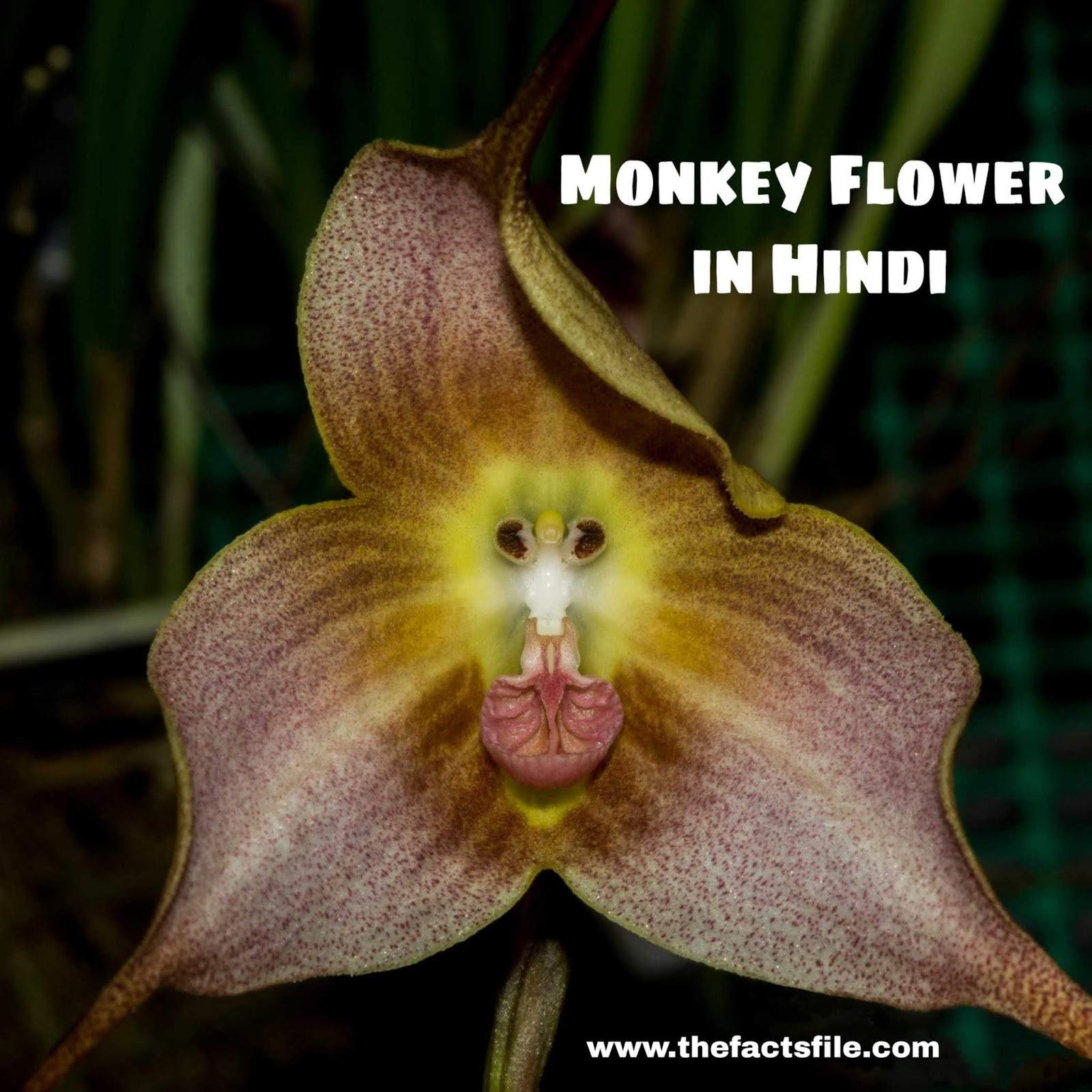 यह फूल है या बंदर का बच्चा ? जाने मंकी फ्लावर के बारे में सबकुछ - Facts about Dracula or Monkey Orchid in Hindi