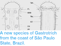 http://sciencythoughts.blogspot.co.uk/2014/05/a-new-species-of-gastrotrich-from-coast.html