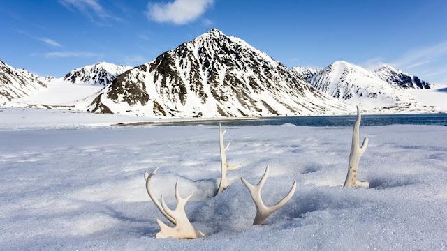 Mueren de hambre más de 200 renos en el Ártico a causa del cambio climático