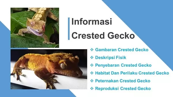 Crested Gecko Atau Tokek Jambul