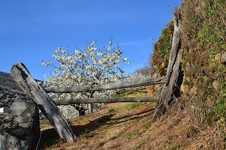 valle del jerte cerezo en flor