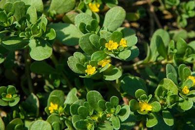 Beldroega Pequena (Portulaca oleracea)