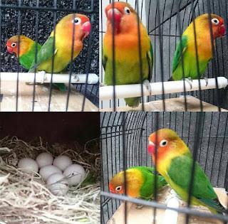 jumlah telur lovebird normal dan maksimal