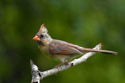 Photo of female Northern Cardinal on branch