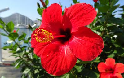 Gros plan hibiscus à 5 pétales