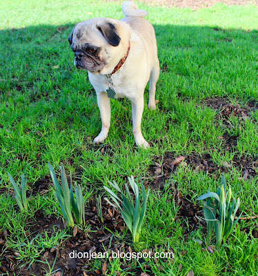 Liam the pug examines some flowers