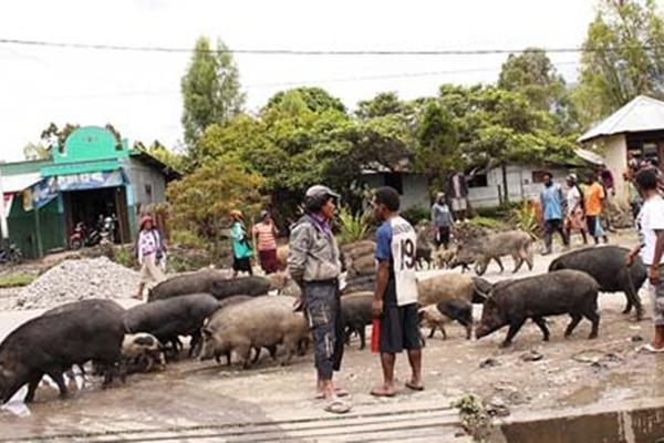 Gara-gara  menabrak babi