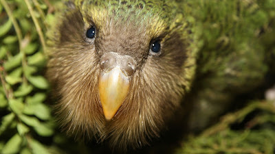 12 October 2018 - THE AMAZING KAKAPO