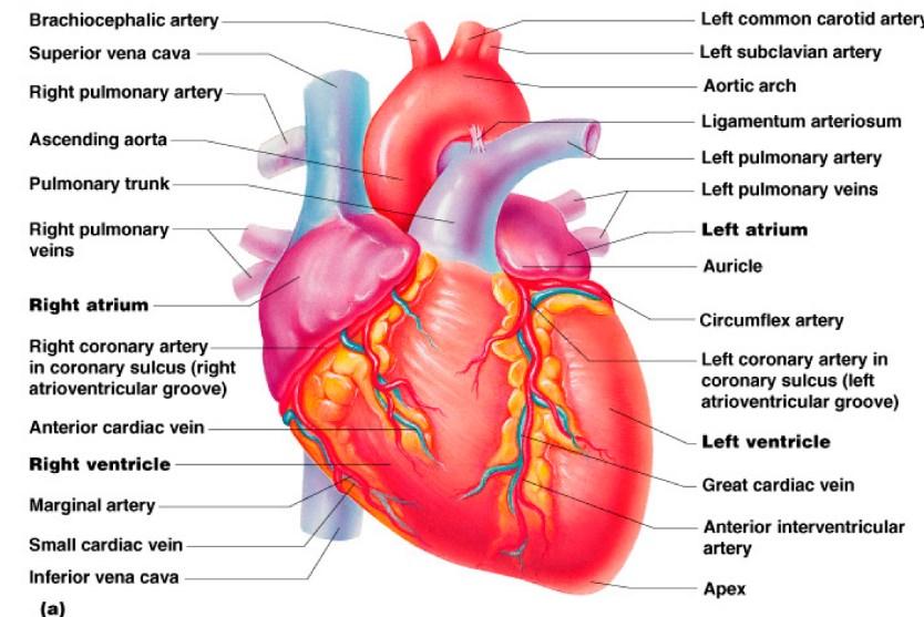 Jadi dapat disimpulkan bahwa aliran kembali dan keluaran jantung dapat menyesuaikan satu sama lain secara otomatis sampai mencapai harga yang sama. Harga yang sama antara aliran kembali dan keluaran jantung atau dapat dikatakan pada keadaan seimbang. Titik potong antara keluaran jantung dan aliran kembali disebut titik keseimbangan.