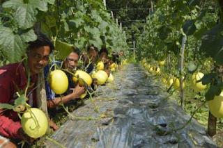melon kuning, menanam melon, budidaya melon, jual  benih melon, lmga agro