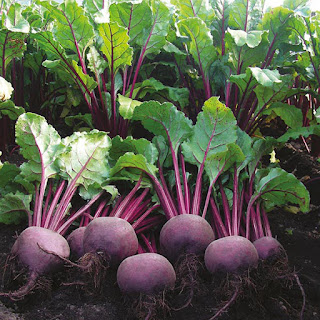 The beet plant is packed with so many amazing health benefits from the leafy part which is rich in calcium, iron, vitamin A and C, the root is a good source of folic acid, rich in fiber, manganese, potassium, riboflavin, thiamine, etc.