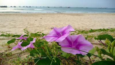 Dịu dàng hoa muống biển-