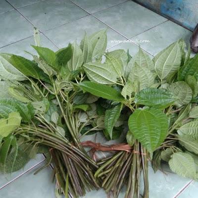 ikatan besar daun pohpohan sumber pangan dari hutan