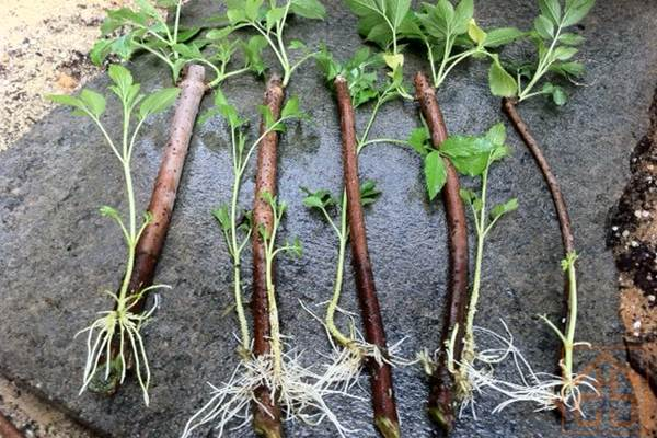 The most complete method of Rooting Cuttings