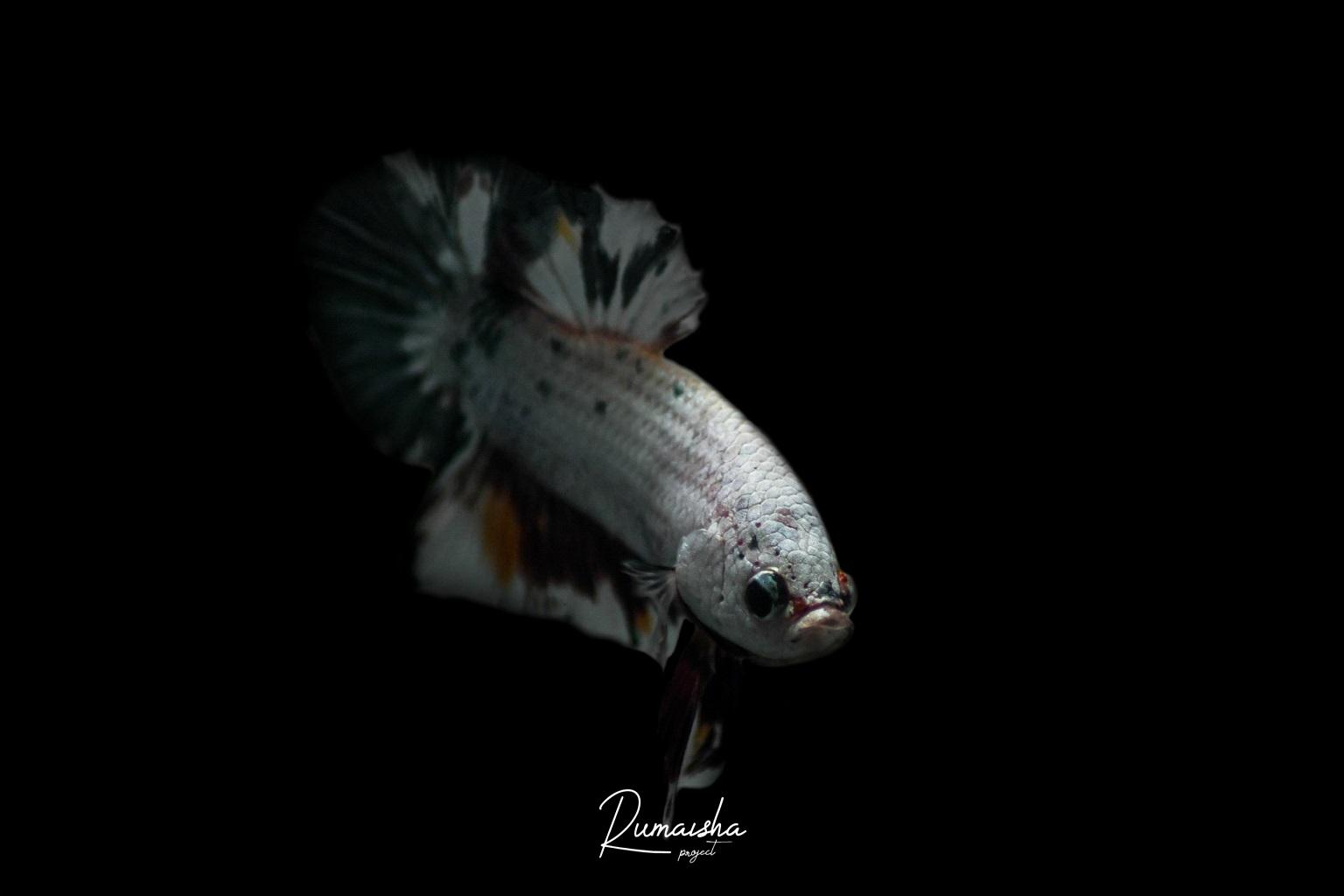 Ikan Cupang - Ikan Hias Yang Kuat Hidup Tanpa Oksigen